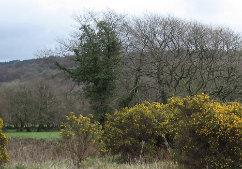 Gorse_and_trees
